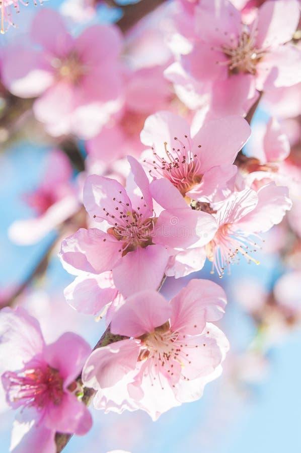 Den blommande persikarosa färgen blommar makro arkivfoto