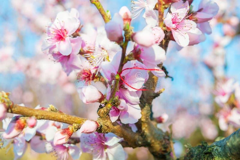 Den blommande persikarosa färgen blommar makro arkivbild