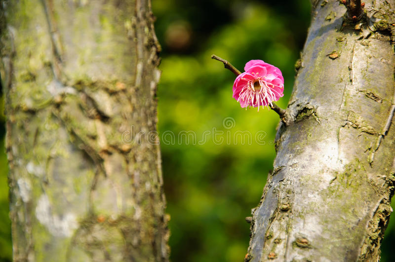 Den blommande plommonblomman i trädgård royaltyfri foto