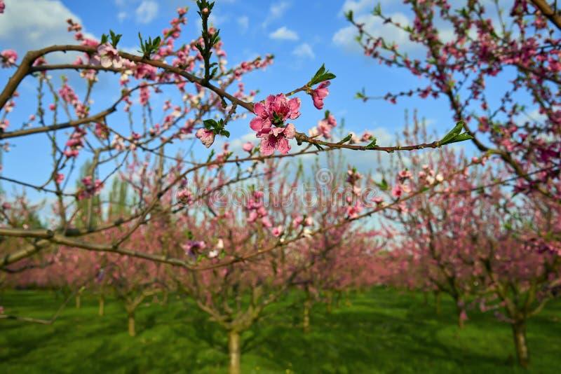 Den blommande rosa persikan blomstrar på trädpinnen med persikaträd som är gardern på bakgrund i början av springÑŽ royaltyfri fotografi