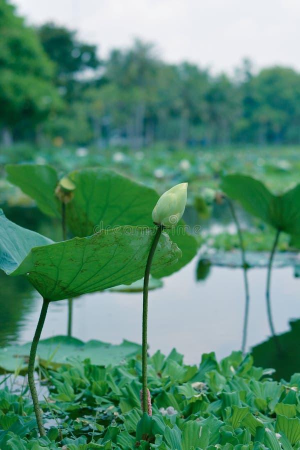 Den blomming lotusblomman arkivfoto