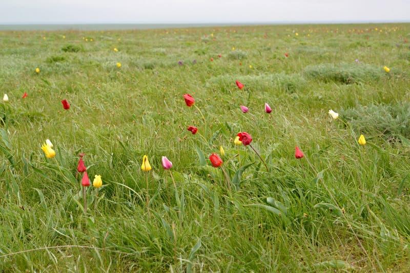 Den blomstra stäppen för tulpan för Shrenk ` s på våren Kalmykia arkivbilder