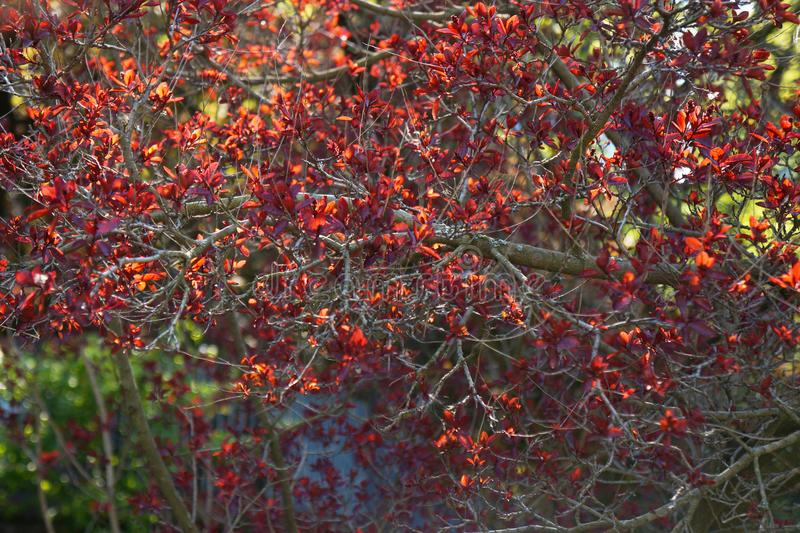 Den blomstra trädfilialen på våren royaltyfri foto