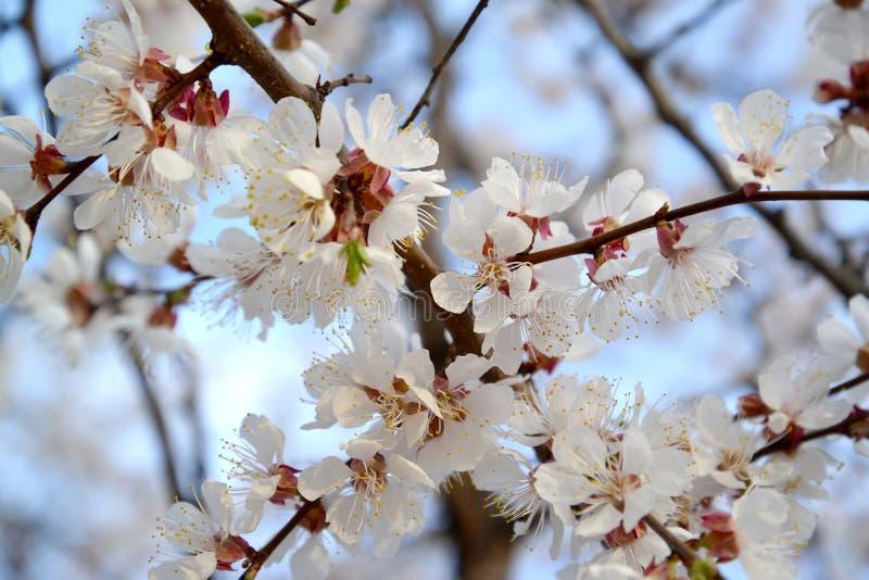 Den blomstra vanliga Prunusarmeniacaen L för aprikos royaltyfria foton
