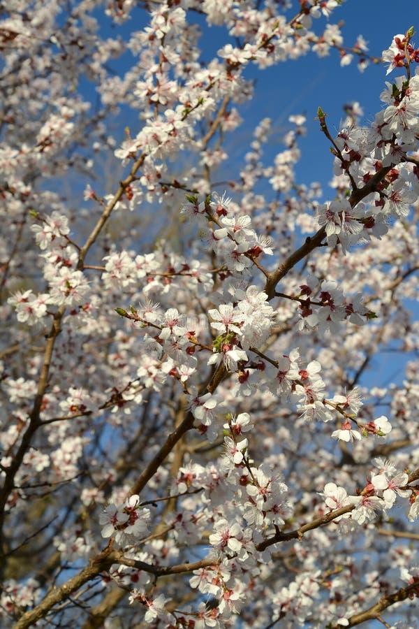Den blomstra vanliga Prunusarmeniacaen L för aprikos mot th arkivbilder
