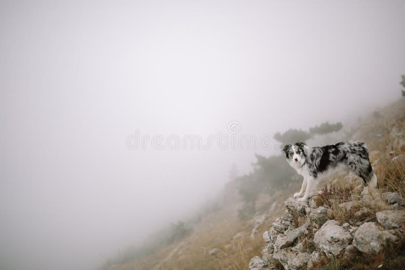 Den Border collie hunden står i dimman på berg royaltyfria bilder