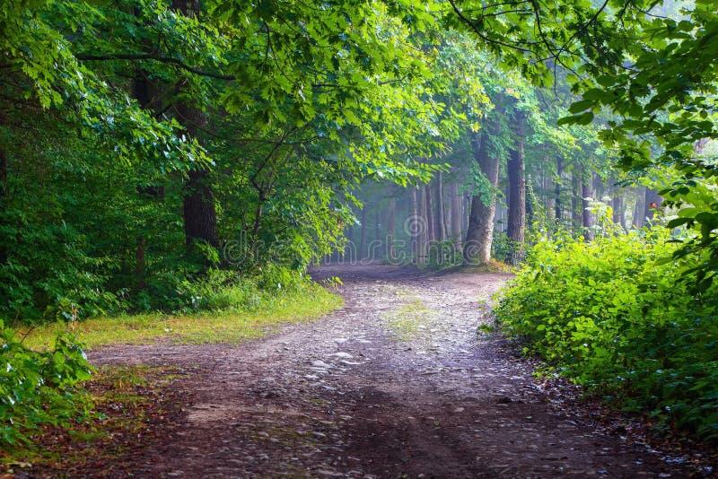 Den breda vägen bland jätte- träd leder till den felika skogen i ogenomskinlighet royaltyfri fotografi