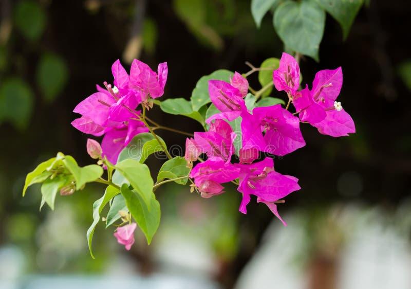 Den briljanta bougainvillean blommar i Thailand arkivfoton