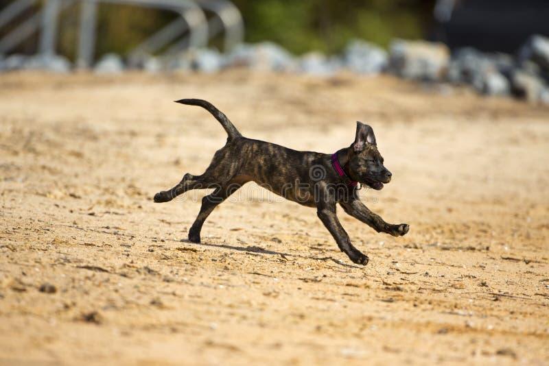 Den Brindle hunden för boxarelaboratoriummixen kör in i vattnet royaltyfri foto