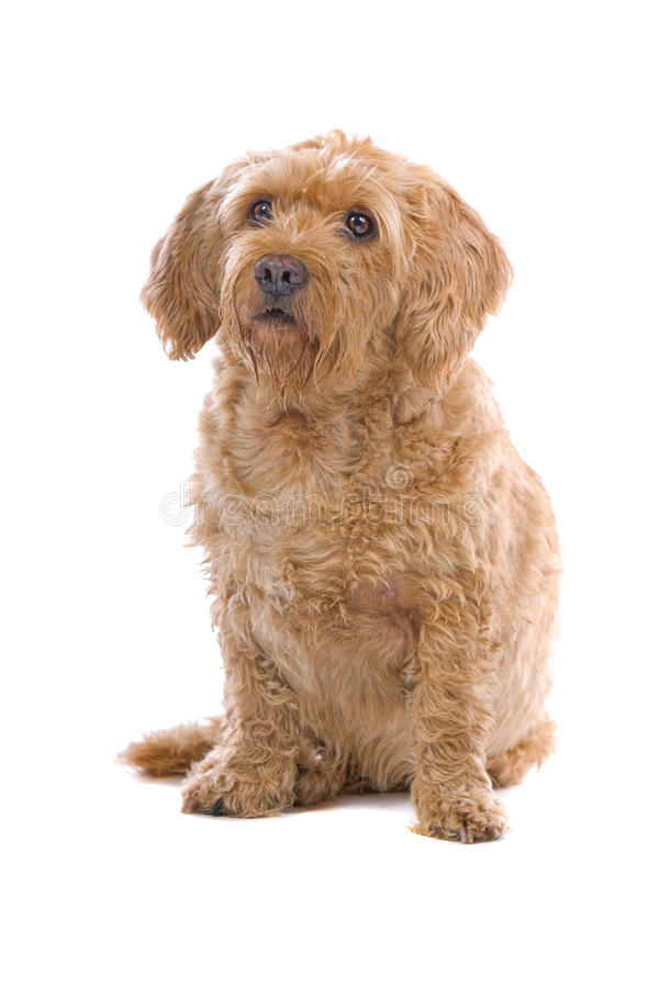 den brittany hunden lismar griffon arkivfoton