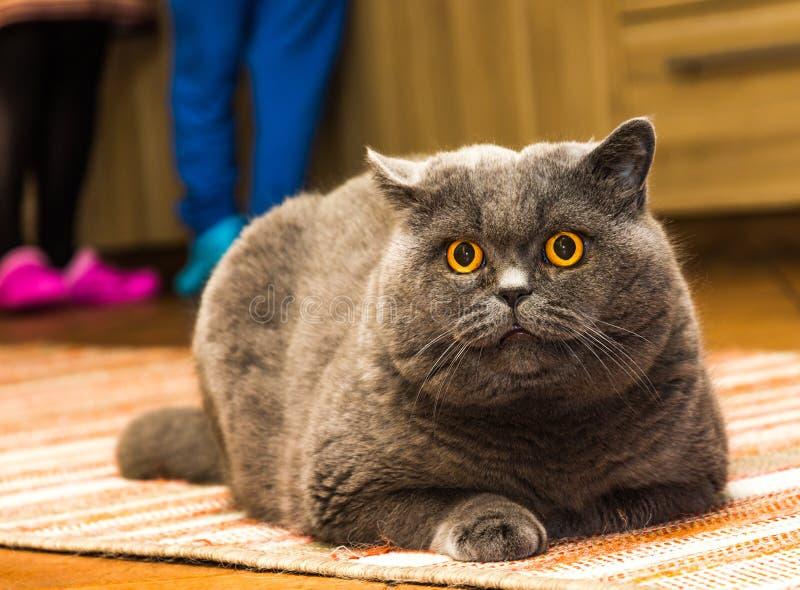 Den brittiska blåa katten med stora orange ögon ligger på mattan och ser till kameran arkivfoton