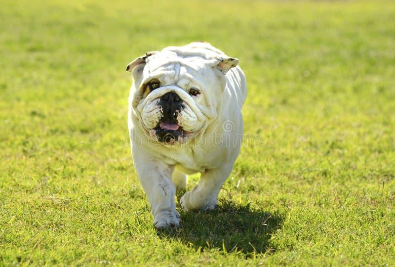 Den brittiska bulldoggen som spelar i hunden, parkerar royaltyfria foton