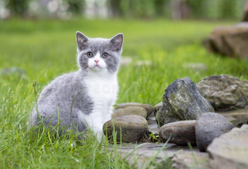 Den brittiska kattungen på går i trädgården som sitter på, vaggar Bicolor färgblått royaltyfri bild