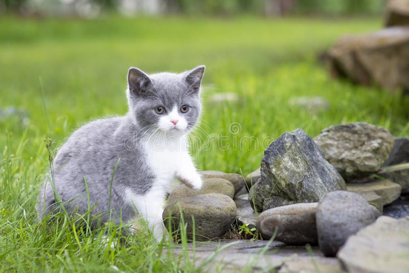 Den brittiska kattungen på går i trädgården på vaggar Bicolor färgblått arkivbild