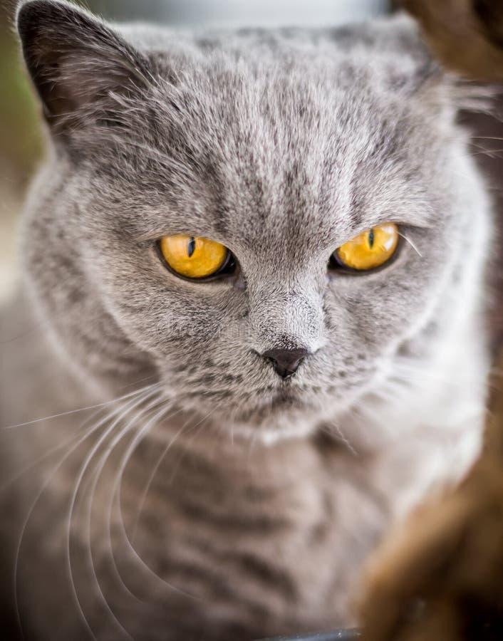 Den brittiska Shorthair katten med blått och grå färger pälsfodrar arkivfoton
