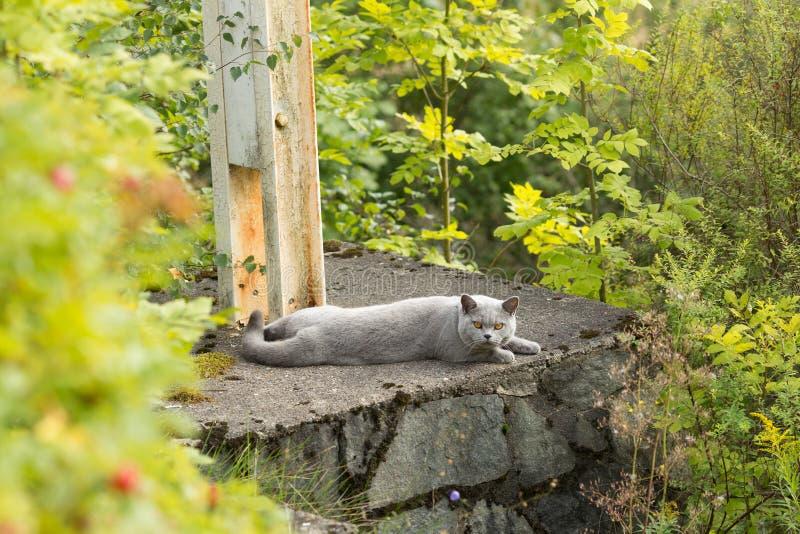 Den brittiska Shorthairen med blåa grå färger pälsfodrar att ligga i trädgård royaltyfria foton