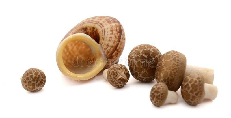 Den bruna boktr?det plocka svamp, den Shimeji champinjonen, ?tlig champinjonisolat arkivbild