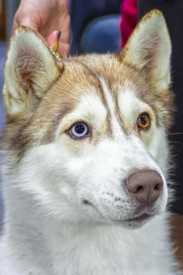 Den bruna gulliga siberian skrovliga hunden med mång--färgade heterochromatic ögon ser sikten åt sidan främre close upp royaltyfri fotografi