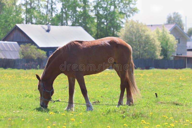 Den bruna härliga hästen äter nytt grönt gräs i fält royaltyfria foton