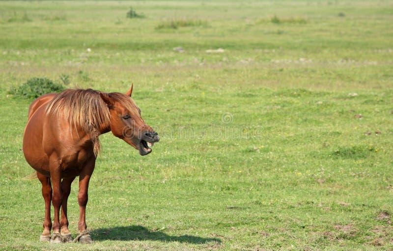 den bruna hästen gnäggar fotografering för bildbyråer