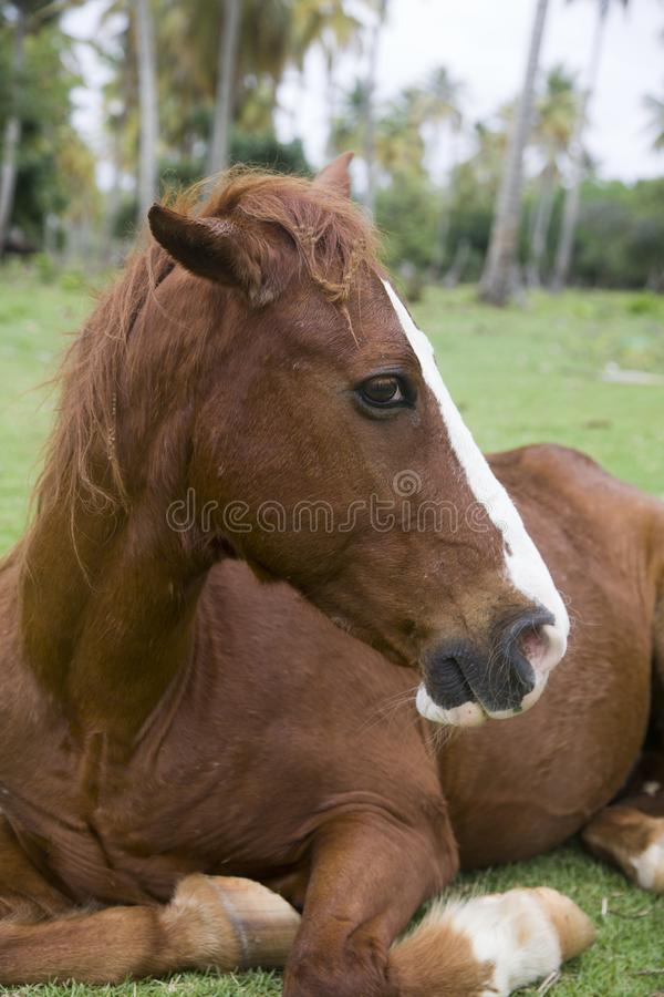 Den bruna hästen med en vit remsa på en tysta ned ligger under palmträdet royaltyfria foton