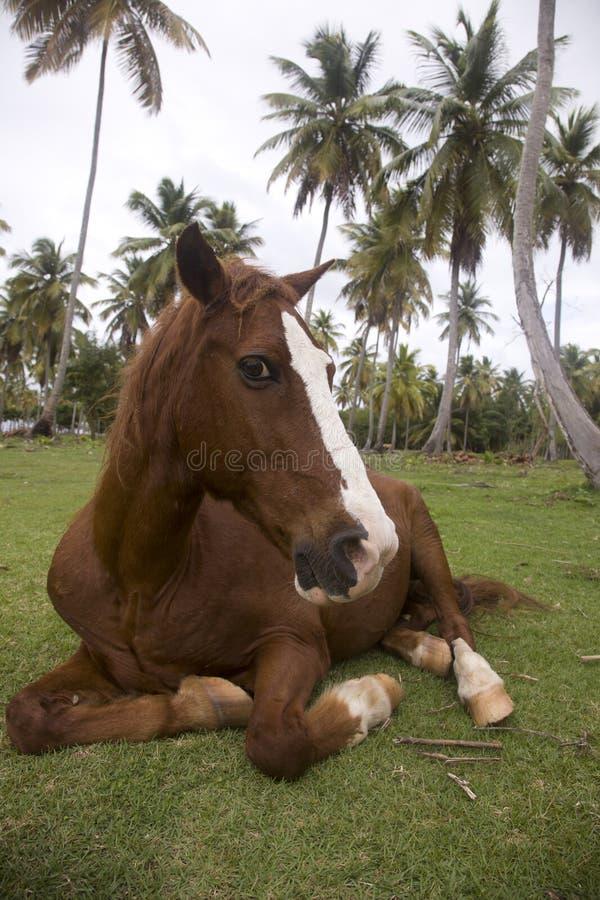 Den bruna hästen med en vit remsa på en tysta ned ligger under palmträdet fotografering för bildbyråer