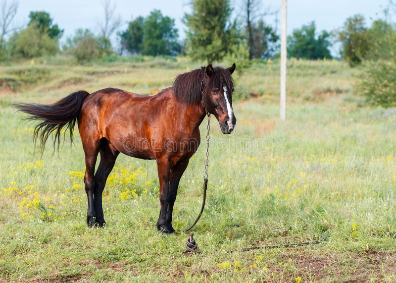 Den bruna hästen på en sommar betar royaltyfri fotografi