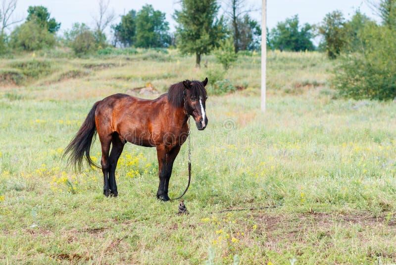 Den bruna hästen på en sommar betar royaltyfria foton