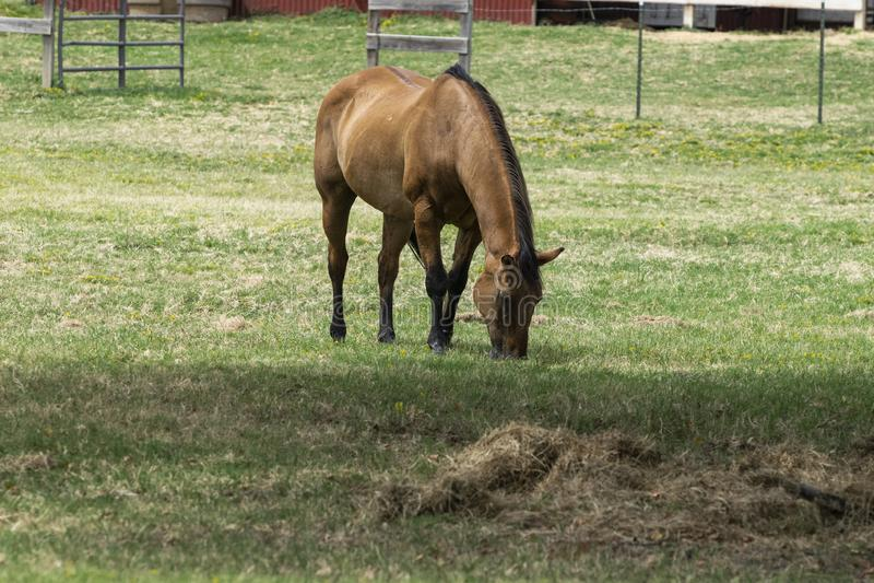 Den bruna hästen som betar på grönt gräs betar in arkivfoton