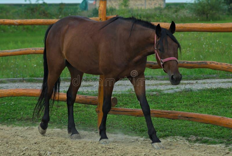 Den bruna hästen som går insidan, fäktade område utanför stall royaltyfria bilder