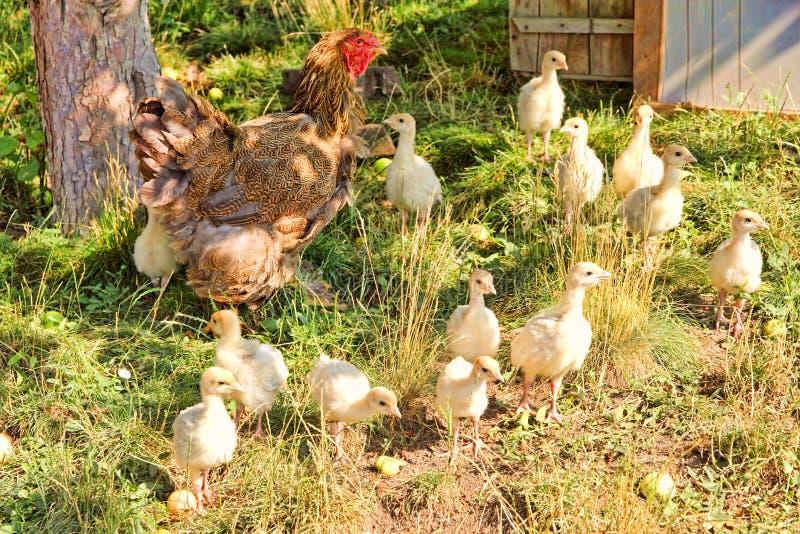 Den bruna hönan och flocken av fågelungar near hönshuset royaltyfri bild