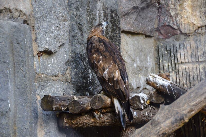 Den bruna hövdade rov- örnen sitter på en hög av journaler och ser upp royaltyfria foton