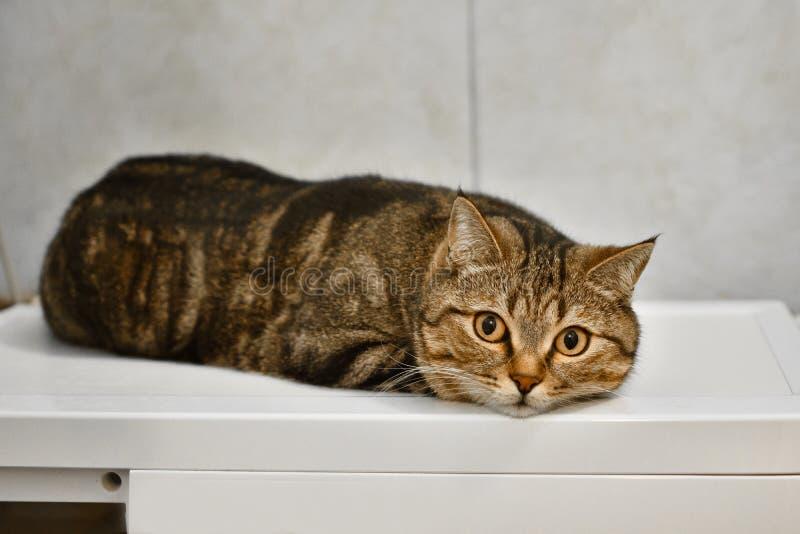 Den bruna inhemska katten ligger på tabellen arkivfoton