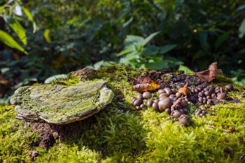 Den bruna jordbollsvampen växer på en falska en stubbe, grön mossa och gammal fnöske, Sclerodermacitrinum royaltyfria bilder