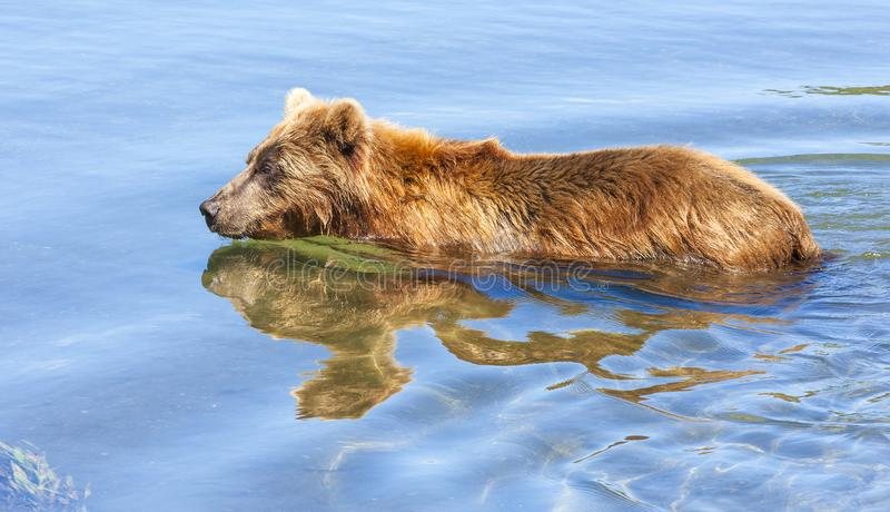 Den bruna Kamchatka björnen på kusten av Kuril sjön royaltyfria bilder
