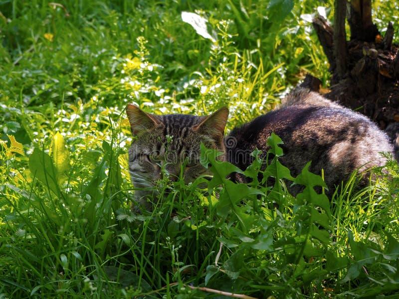Den bruna katten med de gröna ögonen lägger på det gröna gräset royaltyfri bild