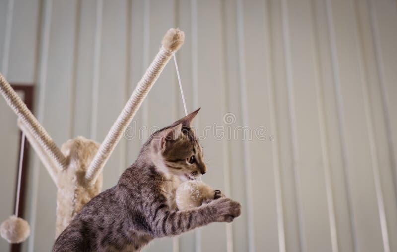 Den bruna kattungen spelar på kattaktivitetsställningen och biter repet och klumpa ihop sig royaltyfri fotografi