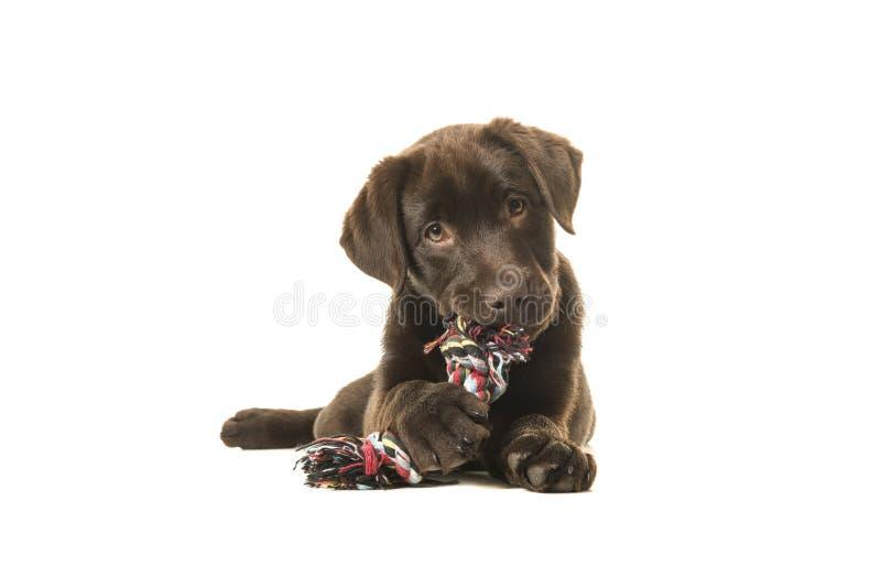 Den bruna labrador retriever valpen som ligger ner sett framifrån, med dess, tafsar framme att tugga på ett knutit repben och att fotografering för bildbyråer