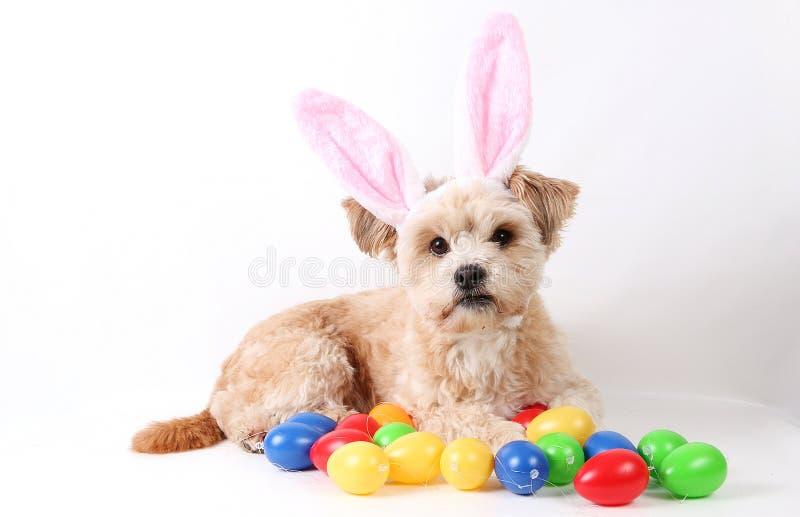 Den bruna lilla blandade hunden ligger i studion med färgrika easter ägg och roliga kaninöron på huvudet arkivbild