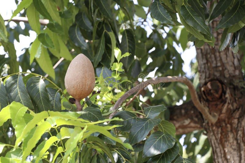Den bruna mahogny med blad på mahogany-trädet royaltyfri bild