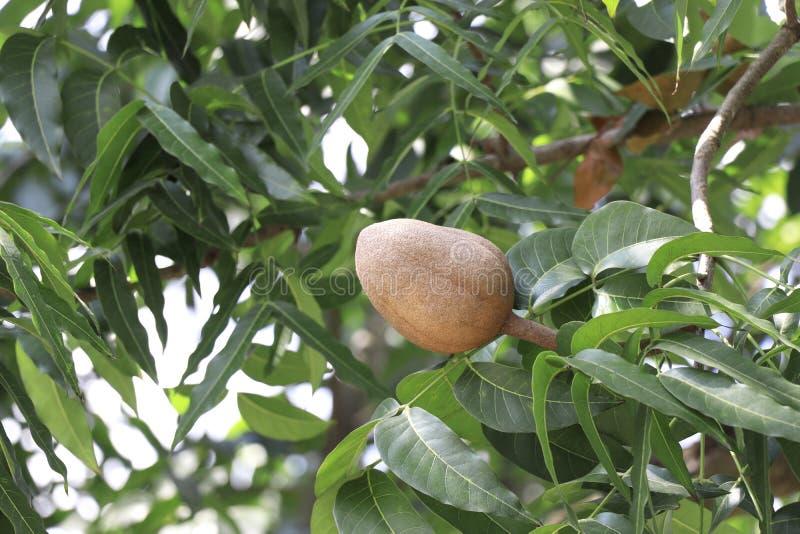 Den bruna mahogny med blad på mahogany-trädet arkivbilder