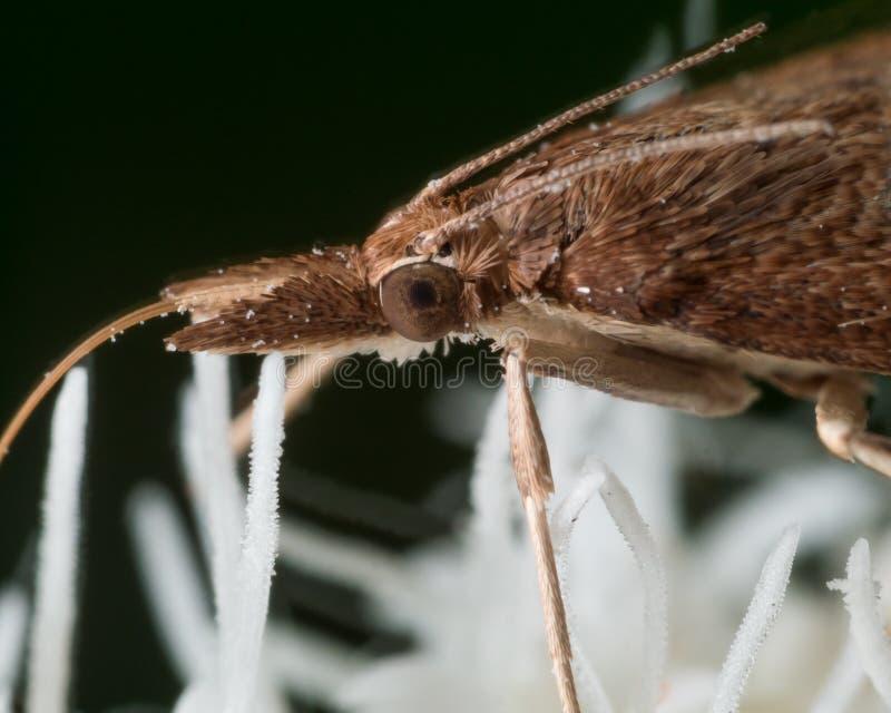 Den bruna malen drar ut pollen från den vita blomman royaltyfria bilder