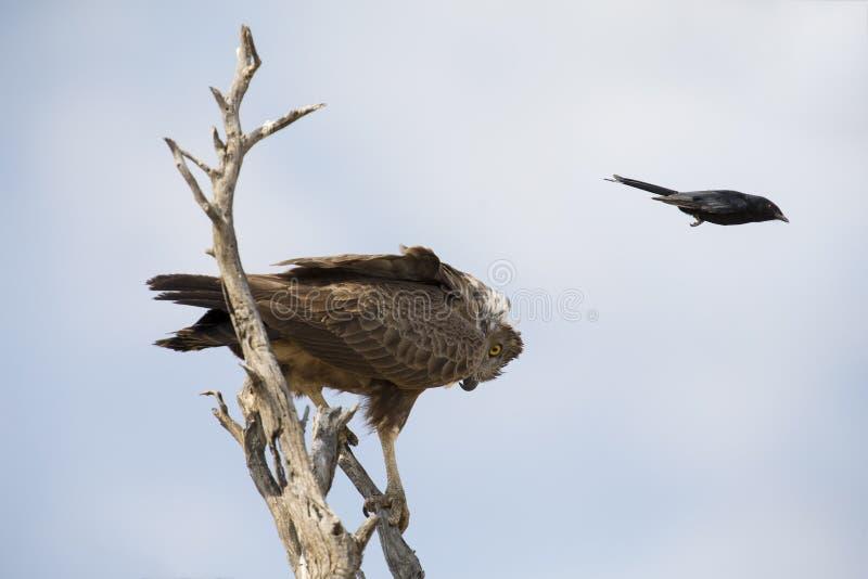 Den bruna ormen Eagle i träd tjatas på av gaffeln Tailed Drongo arkivbilder