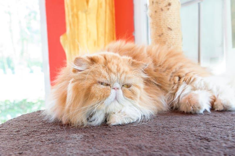 Den bruna persia katten lägger på golvet arkivbilder