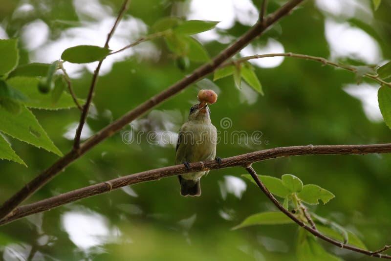 Den bruna strandfågel royaltyfri foto