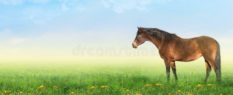 Den bruna warmbloodhästen på sommar betar, panramaen royaltyfria foton