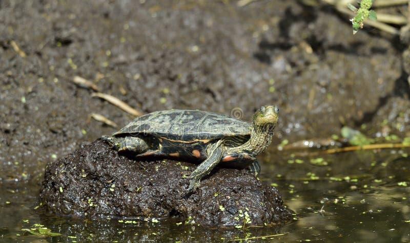 Den Caspian sköldpaddan Mauremys caspica arkivfoto