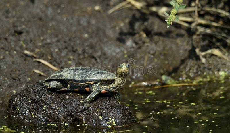 Den Caspian sköldpaddan Mauremys caspica arkivfoton