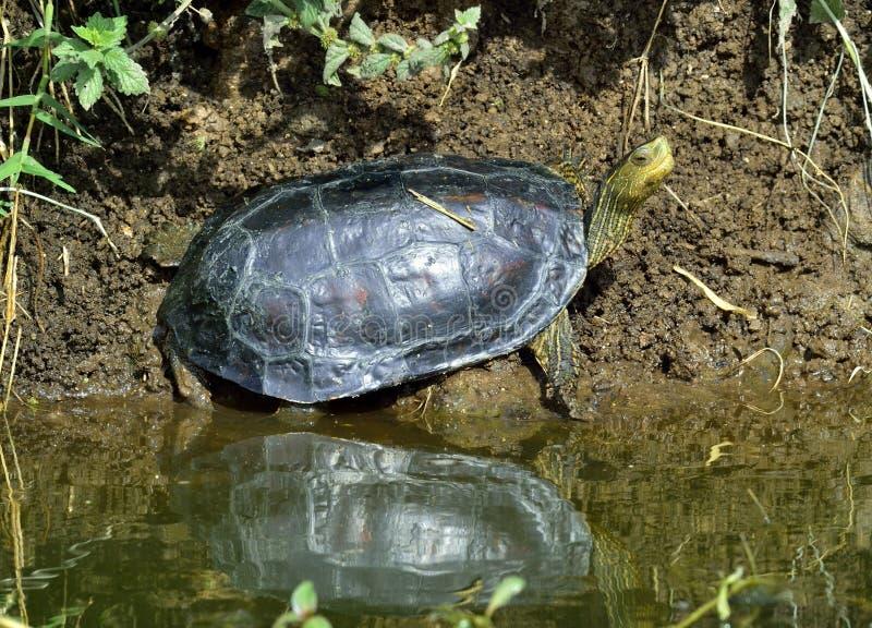 Den Caspian sköldpaddan Mauremys caspica royaltyfri bild