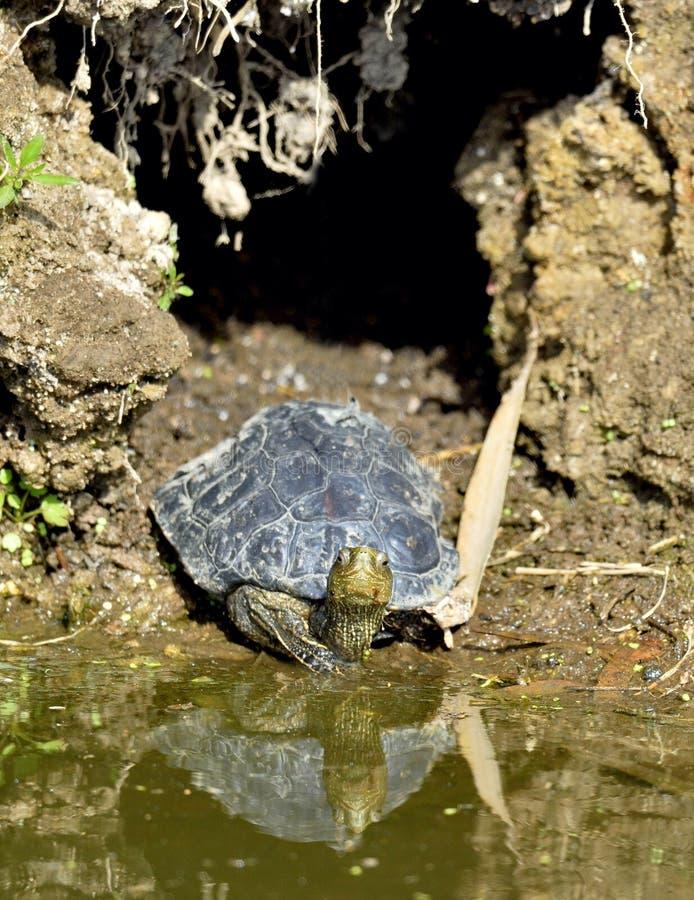 Den Caspian sköldpaddan Mauremys caspica arkivbilder